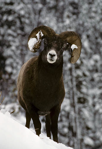 Bighorn Sheep (Ovis canadensis) portrait of a ram in the Canadian Rockies of Canada