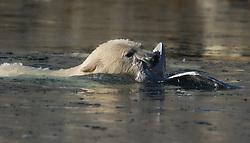 Polar bear attacking Glaucous Gull on Svalbard
