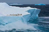 Adelie Penguins on an iceberg with crashing surf, with a blue iceberg in the background.