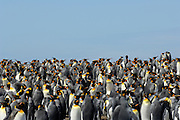 Der Königspinguin (Aptenodytes patagonicus) findet sich zur Brutzeit in großen Kolonien zusammen. | The king penguin (Aptenodytes patagonicus) is highly gregarious at the breeding colonies.