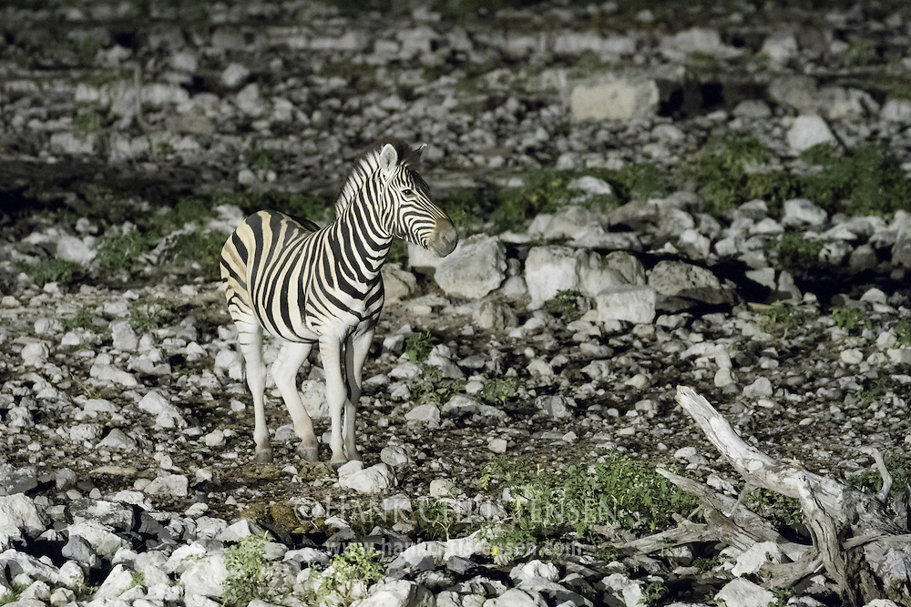 Zebra come at night to drink from the Okaukuejo Waterhole.  Night is a good time for prey animals to visit waterholes as they have a better chance of escaping predators.