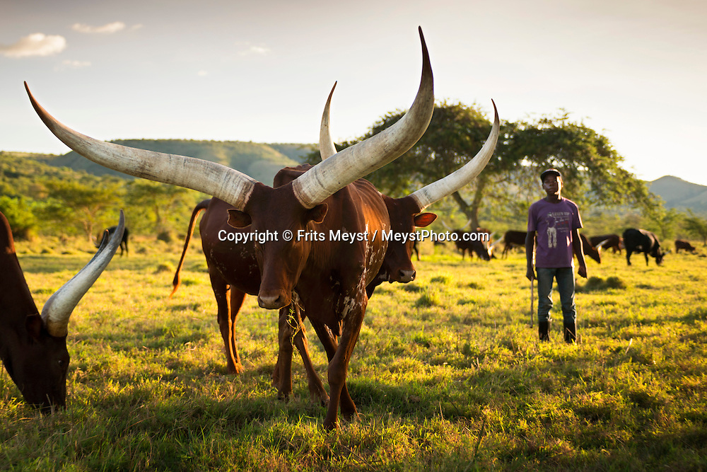 Mburo National Park, Uganda, April 2014. The Ankole-Watusi, also known as Ankole longhorn, is a breed of cattle originally native to Africa. Its large, distinctive horns, that can reach up to 8 feet (2.4 m) from tip to tip, are used for defense and cooling by blood vesseled honeycombs. East of Lake Victoria, at the borders with Congo (DRC) and Rwanda, is where the East African savannah meets the West African jungle highlands and mountains. The route of our roadtrip becomes an epic journey over potholed mountain dirt roads, with a 4x4 vehicle, through some of Africa's most spectacular landscapes, various cultures, and National Parks. Photo by Frits Meyst / MeystPhoto.com