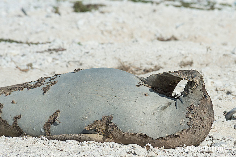 endemic Hawaiian monk seal, Monachus schauinslandi ( Critically Endangered Species ), resting on shore while shedding skin and fur during annual molt or moult scratches snout with flipper; East Island, French Frigate Shoals, Papahanaumokuakea Marine National Monument, Northwest Hawaiian Islands, USA ( Central Pacific Ocean )
