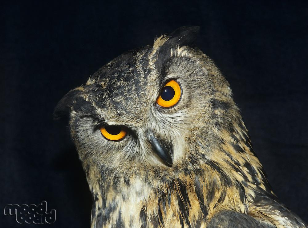 Owl head shot