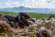 White Tailed Eagle (Haliaeetus albicilla) chick in nest in large conifer tree with forest,  mountain and coastal habitat in background
