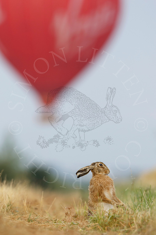 European Hare (Lepus europaeus) adult cleaning itself on farmland track with hot air balloon in the background, South Norfolk, UK. July.