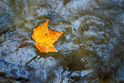 Fall in New England. Maple leaf in water. Pearl Cascade, on the Avalon Trail near Crawford Notch.  White Mountain N.F., NH
