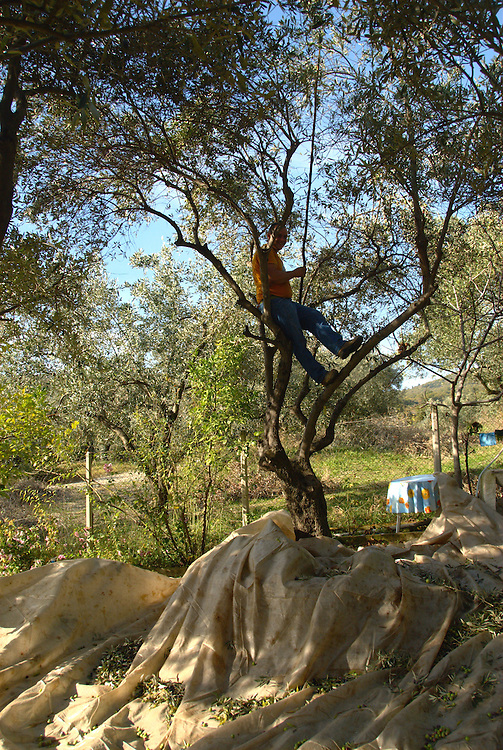 Picking olives from the olive trees at Aghiokampos village, Aghia town, Larissa Prefecture,  Thessaly region, central Greece.