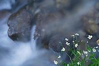 Ranunculus aconitifolius; Buttercup, Malbun, Lichtenstein