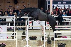 068, Quick Obelynsky<br /> Hengstenkeuring BWP - Lier 2019<br /> © Hippo Foto - Dirk Caremans<br /> 18/01/2019