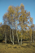 Silver Birch  Betula pendula Betulaceae Height to 26m<br /> Acquires weeping habit with age. Bark Thick, fissured at base, forming rectangular plates; smooth silvery-white higher up trunk. Branches Ascending; twigs and shoots pendulous. Leaves To 7cm long, triangular, toothed; turn yellow in autumn. Reproductive parts Male catkins terminal, yellow, pendulous. Female catkins greenish, in leaf axils; produce winged seeds when mature. Status Common, especially on heaths.
