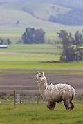 Llama, Southland, New Zealand