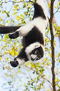 Black And White Ruffed Lemur <br /> Varecia variegata variegata<br /> East Coast of Madagascar, Africa