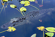 Alligator in Everglades National Park, Florida, USA