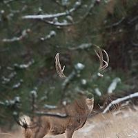 muledeer buck hiding behind tree, covering vitals