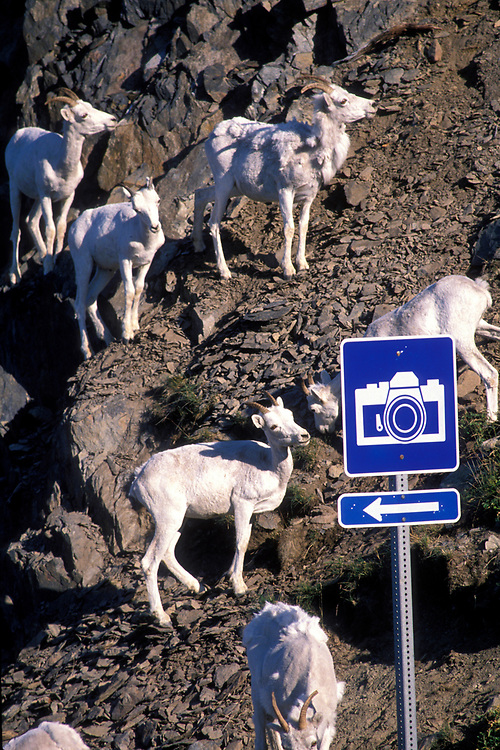USA, Alaska, Chugach State Park, Herd of Dall's Sheep (Ovis dalli) by photo viewpoint sign along Turnagain Arm
