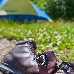 White admiral butterfly, Limenitis arthemis, on a hiking boot in Maine's Northern Forest. Johnson Mountain Township.
