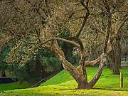 Low sun backlighting a Southern Magnolia (Magnolia grandiflora) in Mount Tabor Park, Portland, Oregon, USA.  Nikon MF Nikkor 105mm f/1.8 AIS