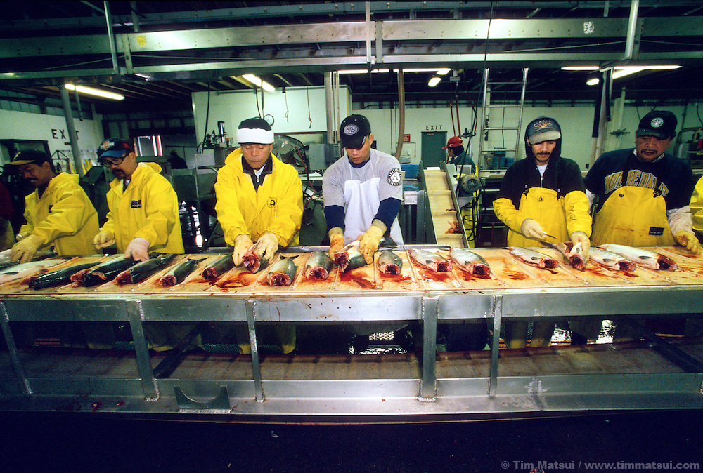 Commercial fish processing line for salmon at a cannery facility in Alaska.