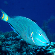 Stoplight Parrotfish swim about reefs and adjacent areas scrapping filamenmtous algae from hard substrates in Tropical West Atlantic; picture taken Grand Cayman.