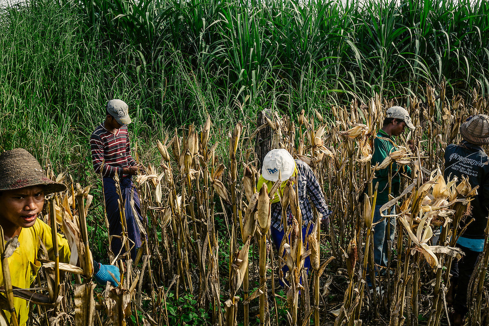 Many of the farm hands working in the fields of Thailand near the Myanmar border are Burmese and Karen hired by local Thai farmers. Workers are harvesting corn by hand.