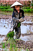 A young girl working in the rice field during planting near Tham Lot Khong Lo, Laos.