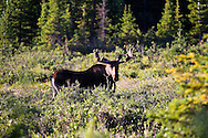 Bull Moose at Brainard Lake Indian Peaks Wilderness Colorado