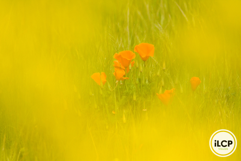 California Poppy (Eschscholzia californica) flowers seen through Field Mustard (Brassica rapa) flowers, Pleasanton, California
