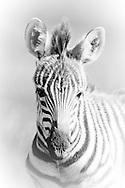 Plains Zebra, Amboseli National Park, Kenya