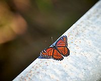 Viceroy Butterfly. Winter Nature in Florida Image taken with a Nikon D4 camera and 80-400 mm VRII telephoto zoom lens