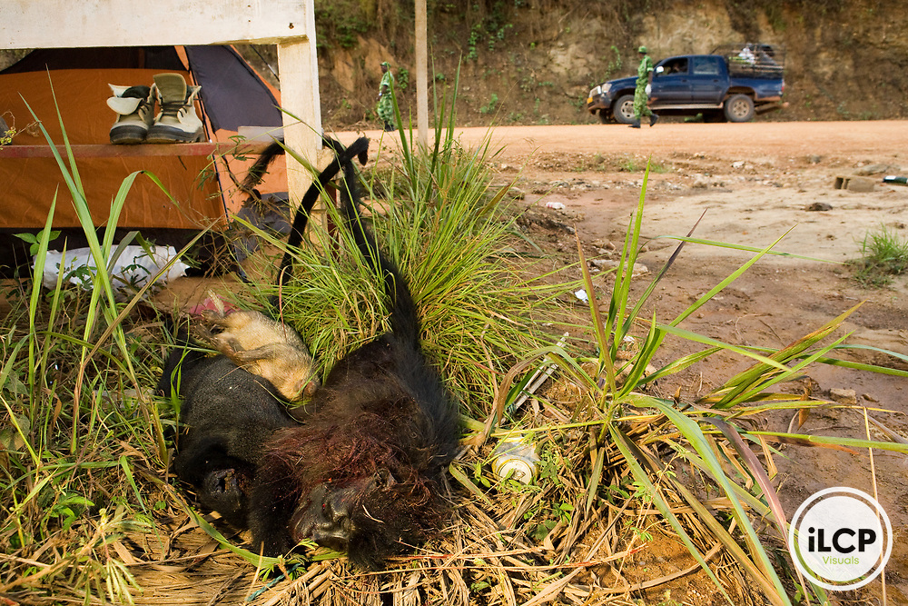 African Brush-tailed Porcupine (Atherurus africanus), White-nosed Guenon (Cercopithecus nictitans), and Gray-cheeked Mangabey (Lophocebus albigena) seized by National Park guards during roadblock check for illegal bushmeat, Lope National Park, Gabon