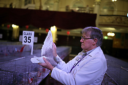 © Licensed to London News Pictures. 21/01/2017. Blackpool, UK. Steward Dave Jenks inspects a pigeon at the British Homing World, Show of the Year at The Winter Gardens in Blackpool. The show has been running since 1973 with over 2500 pigeons on show and an expected 25000 visitors over the weekend. This is the largest gathering of Pigeon Fanciers in the United Kingdom. From trade stands, various groups and organisations, talks, films, young fanciers areas, to the main event: the showing and judging of thousands of the top pigeons in the UK. Photo credit: Nigel Roddis/LNP