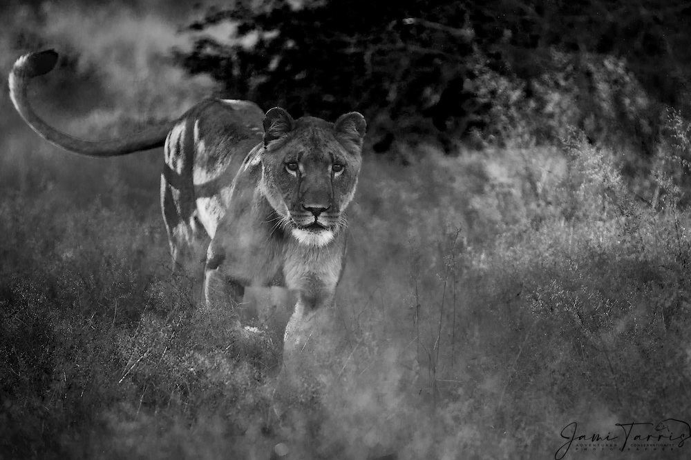 Lioness Images Black And White - impremedia.net