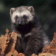 Wolverine, (Gulo gulo) Portrait of young kit. Spring. Rocky mountains. Montana. Captive Animal.