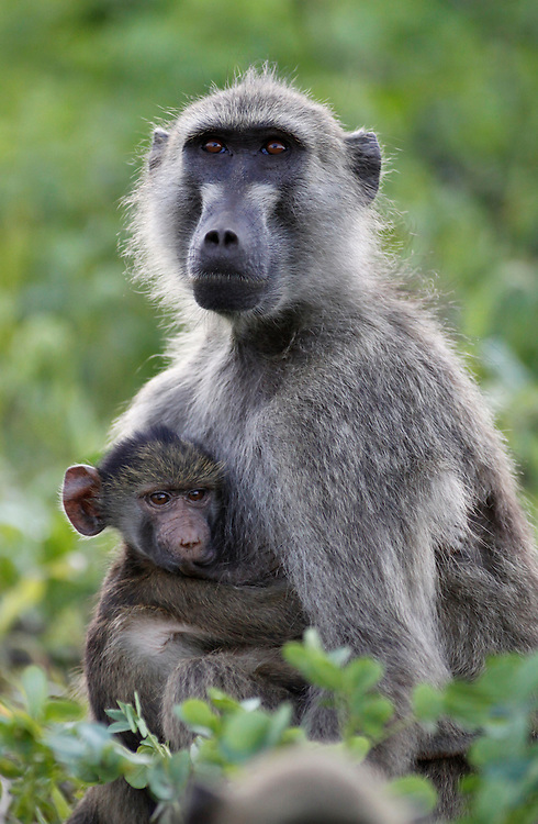Mother and baby Baboon, Chobe National Park, Botswana, Southern Africa, Africa.© Z&D Lightfoot.www.Lightfootphoto.com