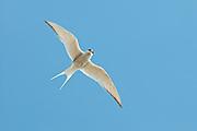 Arctic Tern, Sterna paradisaea, adult, Yukon Delta NWR, Alaska