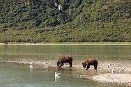 Brown bears (Ursus arctos) feeding on  salmon along the mouth of Geographic Creek at Geographic Harbor in Katmai National Park in Southwestern Alaska. Summer. Morning.