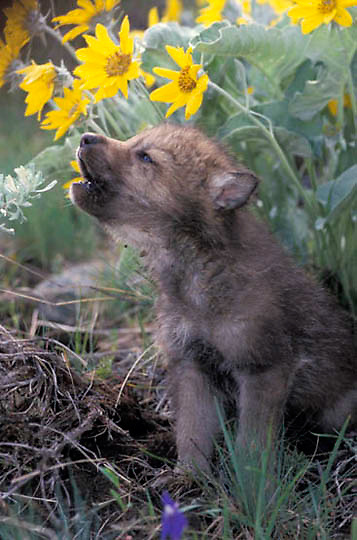 Gray Wolf, (Canis lupus) Young pup in Arrowleaf Balsamroot flowers, howling. Montana.  Captive Animal.