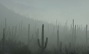 Fog weaves it's way through Saguaro National Park in the Sonoran Desert, Tucson, Arizona, USA.