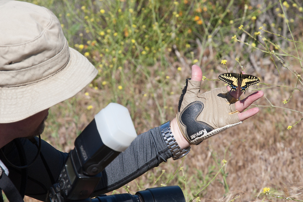Papilio zelicaon (Anise Swallowtail) at Charmlee Park, Malibu, Los Angeles Co, CA, USA, on the photographer 24-Apr-16