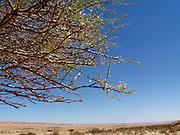 Israel, Negev Desert Mitzpe Ramon Acacia tree and desert landscape