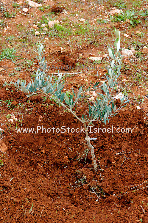 A freshly planted young olive tree. This plantation was planted by both Israeli and Palestinians in the occupied west bank near Nablus