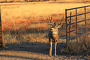 Trophy mule deer buck passes through gate on a ranch.