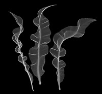 X-ray image of bird's nest fern fronds (Asplenium nidus, white on black) by Jim Wehtje, specialist in x-ray art and design images.