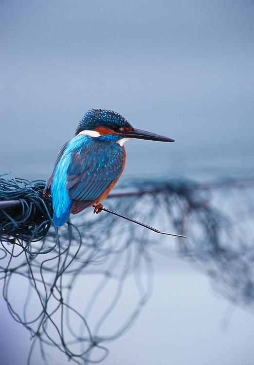 European kingfisher perched on nets over fish ponds, Zichron Ya'acov, Israel....©Niall Benvie, images from the edge..A98/01/ALCATT/002.JPG NIALL BENVIE EUROPEAN KINGFISHER PERCHED ON NETS OVER FISH PONDS, ZICHRON YA'ACOV, ISRAEL PORTFOLIO ALCEDO ATTHIS MIDDLE EAST YA'ACOV BIRD PASSERINE MAN MADE ARTEFACT NET NYLON VERTICAL PROTECTION COOL PATIENCE WAIT TANGLED SMALL COMPACT POINTED SHARP COLOURFUL VIVID BLUE WILD ADULT ONE PERCHING WAITING FISHING SITTING NETTING PONDS TRAPPING WETLAND 2005 JANUARY WINTER.. Add () this image to a lightbox. Close this window... .. ..