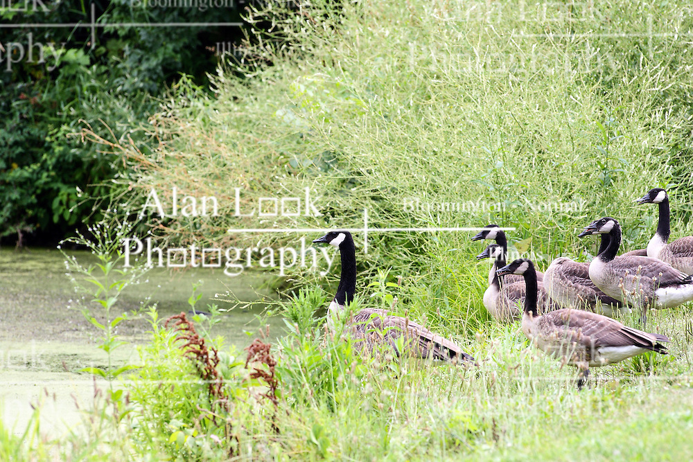 15 Jul 2011: Canadian goose in the Moraine View State Park, LeRoy Illinois (Photo by Alan Look)
