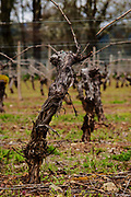 vine at Foris Winery & Vineyards