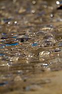 jellyfish washed up on shore<br /> ECUADOR: Galapagos Islands<br /> Santa Fe Island<br /> 19-Aug-2010<br /> J.C. Abbott &amp; K.K. Bauer