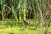 Moorhen chick on a pond in Oxfordshire