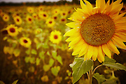 Sunflower field in late summer, midwest farm photogrpahy